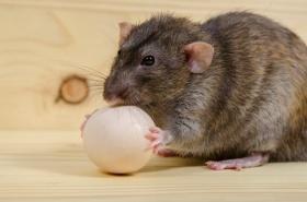 Как крысы и мыши могут навредить курам в курятнике — Sam-Village