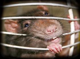 Травление крыс как называется