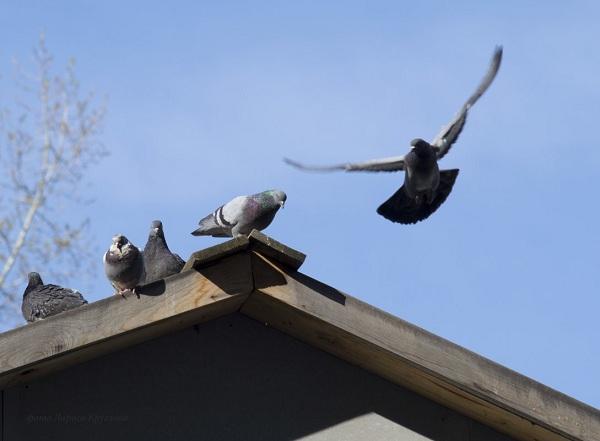Голуби улетают с крыши