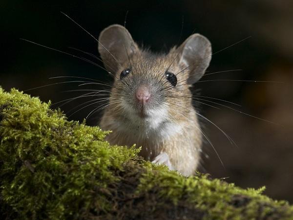 Настороженная мышь