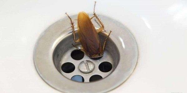 Таракан ищет воду в сливе раковины
