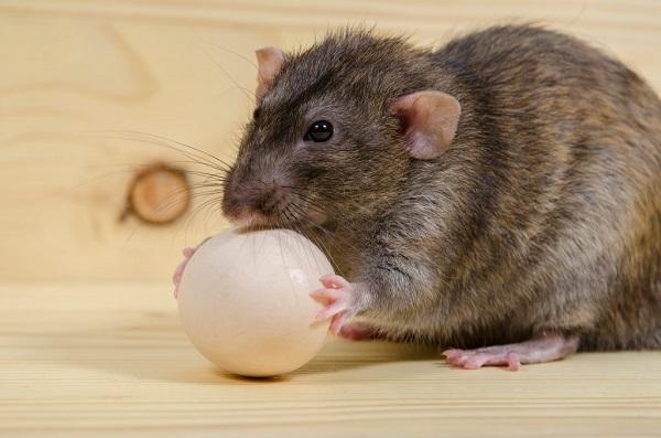 Крыса утащила яйцо