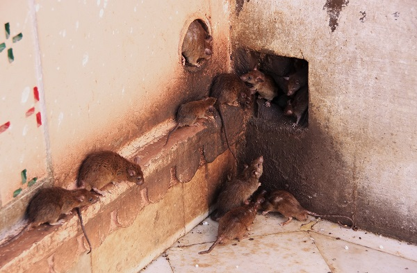 Крысы на предприятии