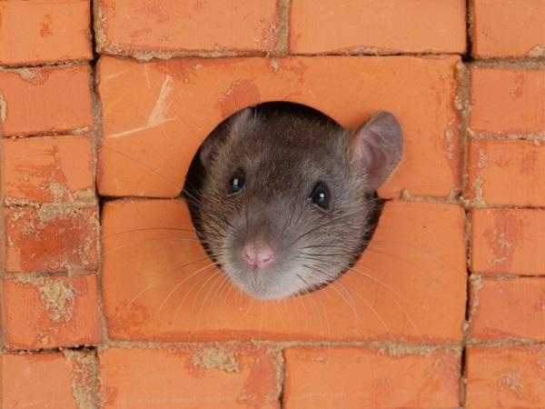 Крыса выглядывает из щели