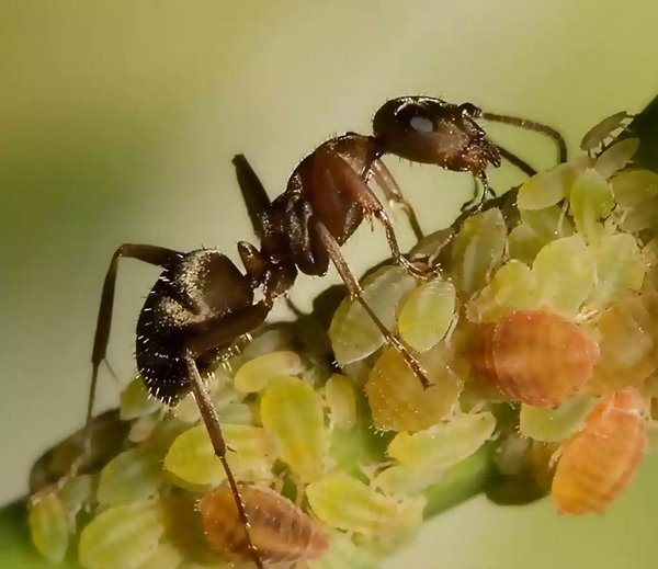 Второе название тли – «муравьиная корова»