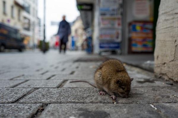 Крыса на улице Нью-Йорка