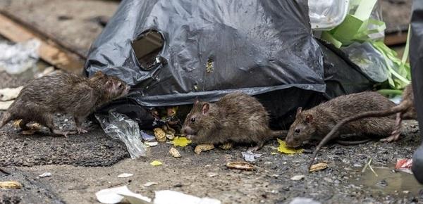 Крысы на помойке