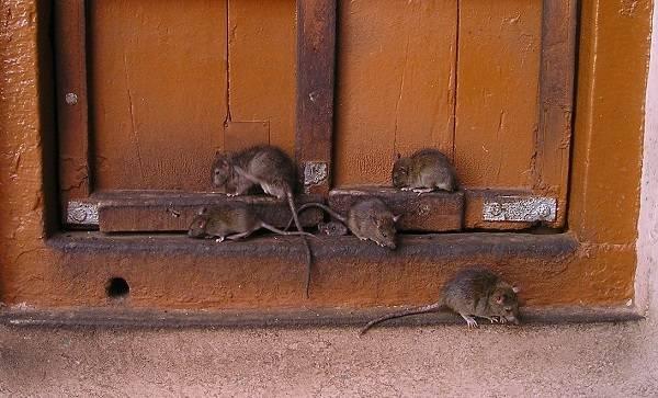 Крысы в доме
