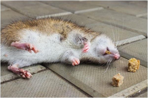 Крыса сдохла, съев отравленную приманку