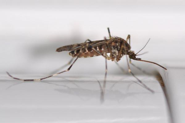 Жгучий комар (Culiseta)