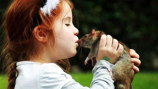 Контакты с крысами могут быть опасны